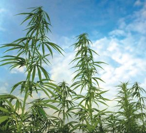 hemp, CBD, medical cannabis